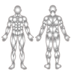human body muscles silhouette vector image