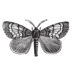 Male gipsy moth vintage vector