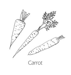 carrots series of vegetables and ingredients for vector image