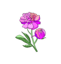 pink peony flower vector image