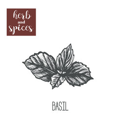 Basil herb skech hand drawing basil vector