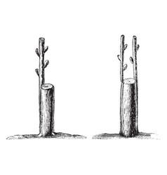 Crown or rind grafting vintage vector