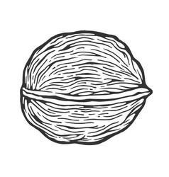 walnut nut sketch engraving vector image