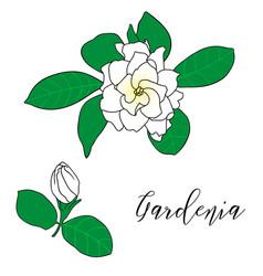 Gardenia jasminoides cape jasmine vector