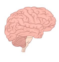Human brain organ anatomy diagram colorful design vector