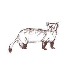 pine marten hand drawn with contour lines on white vector image