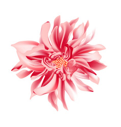 coral daisy flower on a white background isolated vector image