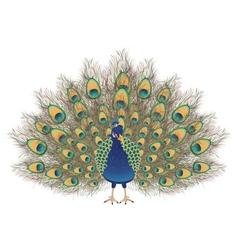 Cartoon peacock portrait vector