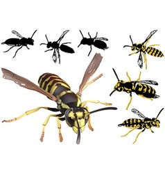 Common Wasp vector