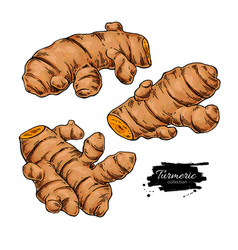 Turmeric root hand drawn vector
