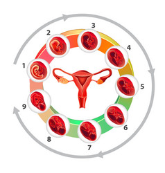 Infographics with uterus and pregnancy months on vector