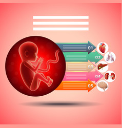 pregnancy infographics fetus with organs vector image vector image