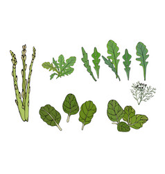 Greens for food spinach arugula vector