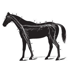 Nervous system of the horse vintage vector