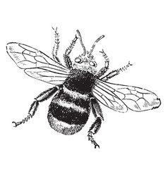 Humble bee vintage vector