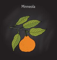 Mineola citrus tangelo fruit vector