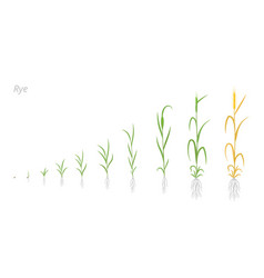 Rye plant growth stages development secale vector