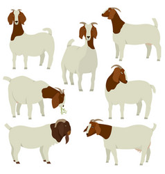farming today white and brown boer goats vector image
