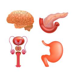 internal organs icon set vector image
