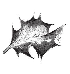 leaf of ilex aquifolium argentea medio-picta vector image