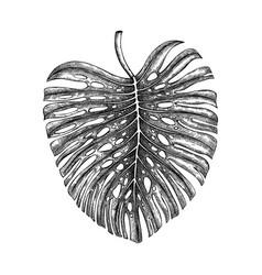 Monstera leaf hand drawn tropical tree leav vector
