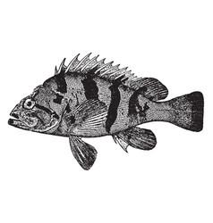 Tiger rockfish vintage vector