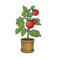 Tomato plant in pot sketch vector