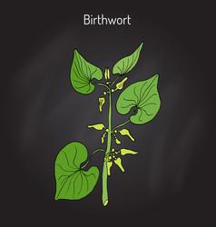 Birthwort aristolochia clematitis medicinal vector