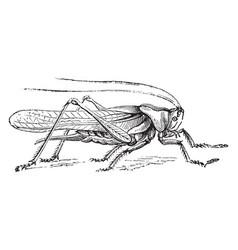 Green grasshopper vintage vector