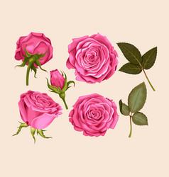 set of pink rose vector image