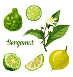 Bergamot orange fruit slice kaffir lime plant vector