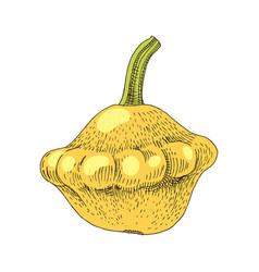 hand drawn squash vector image