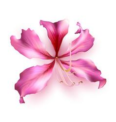 pink bauhinia purpurea vector image