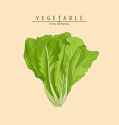 Fresh green lettuce vector