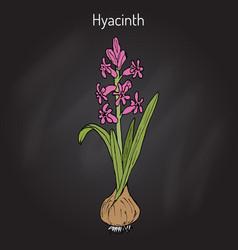 hyacinth hyacinthus orientalis flowering plant vector image