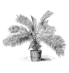 Jubaea spectabilis vintage vector