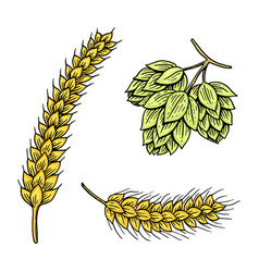 Barley and wheat malt and hops beer vector