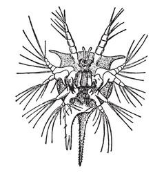 Nauplius of a barnacle vintage vector