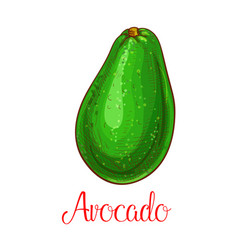 avocado sketch icon of tropical fruit vector image vector image