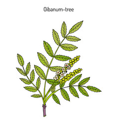 Olibanum-tree boswellia sacra or frankincens vector