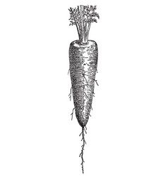 vintage engraving carrot vector image