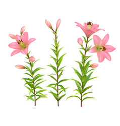 pink lilies with green stem and leaves vector image