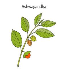 Ayurvedic herb withania somnifera known vector