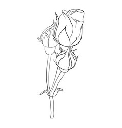 beautiful monochrome black and white rose isolated vector image