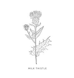 Milk Thistle Hand Drawn Realistic Sketch vector image