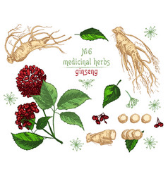 realistic botanical color sketch of ginseng root vector image