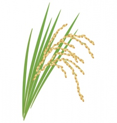 spikelet of rice vector image vector image