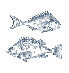 Pike and common european perch fish sketch poster vector