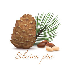 siberian pine cone branch nuts and kernel in vector image