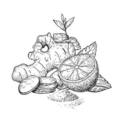 Ginger lemon and mint drawing root hearb vector
